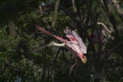 在飞行中粉红琵鹭 图库摄影