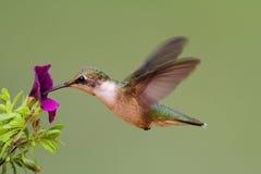 在飞行中红宝石红喉刺莺的蜂鸟 库存照片