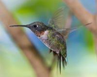 在飞行中红宝石红喉刺莺的蜂鸟 免版税库存照片