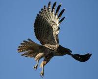 在飞行中红色尾巴鹰 免版税库存照片