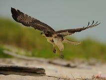 在飞行中红色被盯梢的鹰 免版税库存照片
