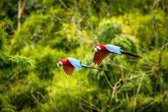 在飞行中红色鹦鹉 金刚鹦鹉飞行,绿色植被在背景中 红色和绿色金刚鹦鹉在热带森林里 免版税库存图片