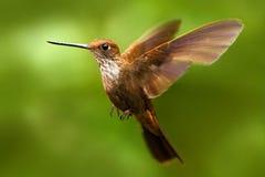 在飞行中美丽的鸟 蜂鸟布朗印加人, Coeligena wilsoni,飞行在美丽的桃红色花旁边,绿色背景, Ecuad 库存图片