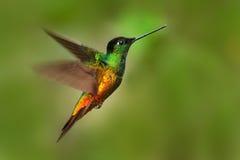 在飞行中美丽的鸟 蜂鸟金黄鼓起了Starfrontlet, Coeligena bonapartei,飞行在热带森林里,绿色背景 免版税库存照片