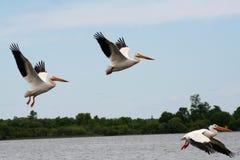 在飞行中美国白色鹈鹕 免版税库存照片