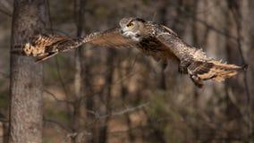 在飞行中老鹰猫头鹰 免版税库存照片