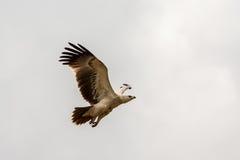 在飞行中老鹰 免版税库存照片