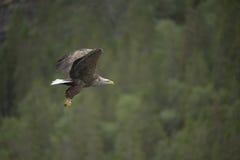在飞行中老鹰 库存图片