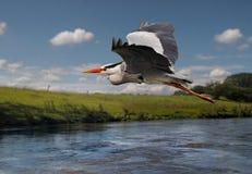 在飞行中苍鹭 免版税图库摄影