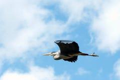 在飞行中苍鹭 图库摄影