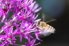 在飞行中蜂蜜蜂 库存图片