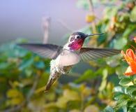 在飞行中蜂鸟和花 库存照片