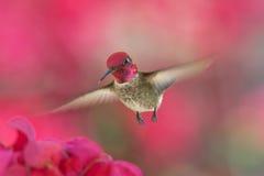 在飞行中蜂鸟 免版税图库摄影