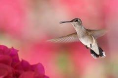 在飞行中蜂鸟 图库摄影