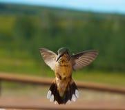 在飞行中蜂鸟 免版税库存图片