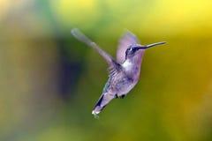 在飞行中蜂鸟 库存图片