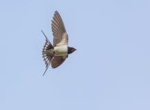 在飞行中被捉住的家燕 免版税库存图片