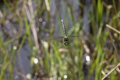 在飞行中被捉住的蜻蜓 图库摄影