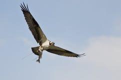 在飞行中运载鱼的白鹭的羽毛 库存图片