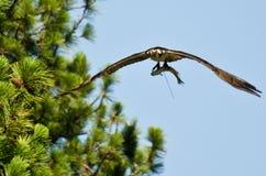 在飞行中运载鱼的白鹭的羽毛 图库摄影