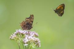 在飞行中逗号蝴蝶和看门人 免版税库存图片