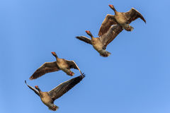 在飞行中野生鹅 免版税库存图片