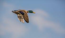 在飞行中野鸭的特写镜头 免版税库存图片