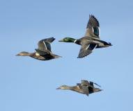 在飞行中野鸭 免版税图库摄影