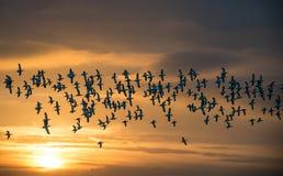 在飞行中长嘴上弯的长脚鸟群  免版税图库摄影