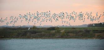 在飞行中长嘴上弯的长脚鸟群  库存照片