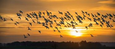 在飞行中长嘴上弯的长脚鸟群  免版税库存照片