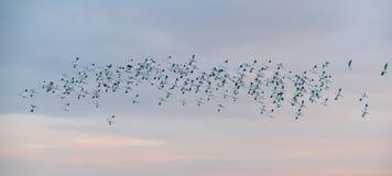 在飞行中长嘴上弯的长脚鸟群  免版税库存图片