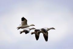 在飞行中雪雁和幼鹅 免版税库存照片