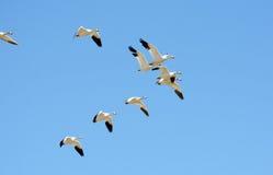 在飞行中雪雁群,迁移 免版税库存照片