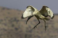 在飞行中非洲神圣的朱鹭 图库摄影