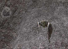 在飞行中飞行从thached屋顶的猫头鹰在猎鹰训练术 免版税库存图片