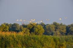 在飞行中鸟群,在多瑙河三角洲 免版税库存照片