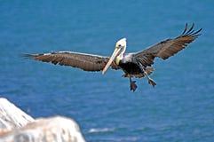 在飞行中鸟鹈鹕 免版税库存照片