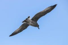 在飞行中鸟 免版税库存图片