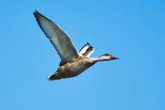 在飞行中鸭子 免版税库存照片