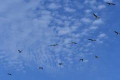 在飞行中鹈鹕-东海岸大西洋鸟人生的Pelecanus occidentalis 库存图片