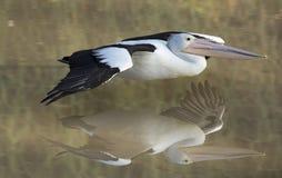 在飞行中鹈鹕 免版税库存图片