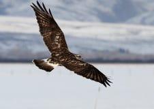 在飞行中鹰 免版税库存照片
