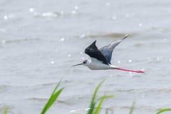在飞行中黑飞过的高跷Himantopus himantopus趟水者鸟飞行 库存照片