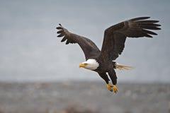 在飞行中离开的白头鹰 库存照片