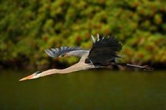 在飞行中水禽 飞行苍鹭在绿色森林栖所 从自然的行动场面 在黑暗的河上的鸟 伟大的蓝色他 图库摄影