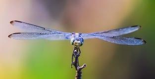 在飞行中蜻蜓姿势 库存图片