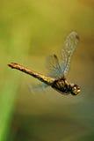 在飞行中蜻蜓 免版税库存图片