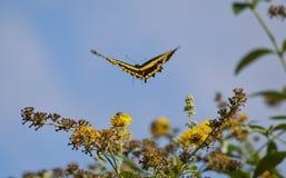 在飞行中蝴蝶 免版税图库摄影