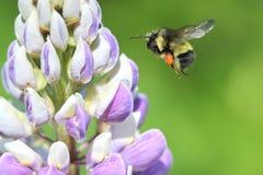 在飞行中黑被盯梢的土蜂 免版税库存图片